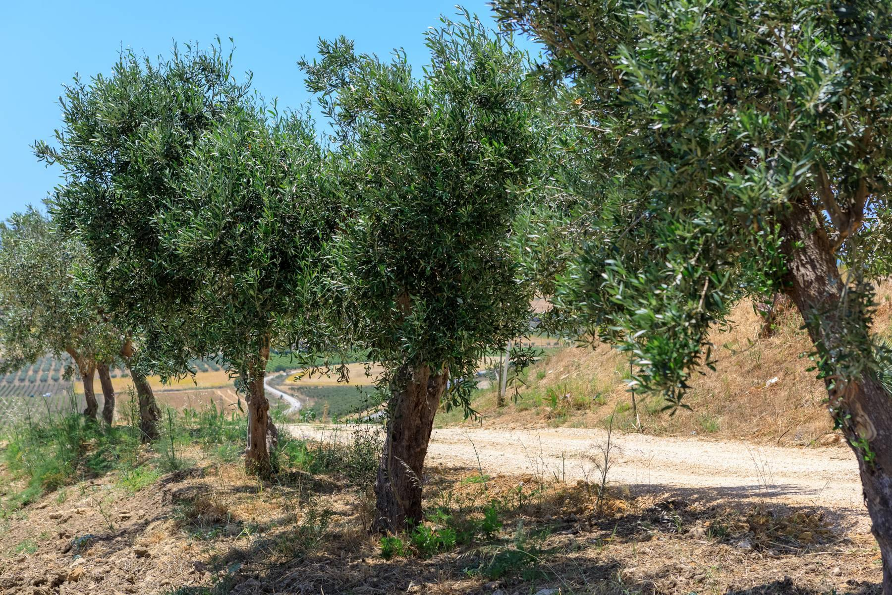 Elegant Sea View Farmhouse surrounded by olive trees in Menfi - 25